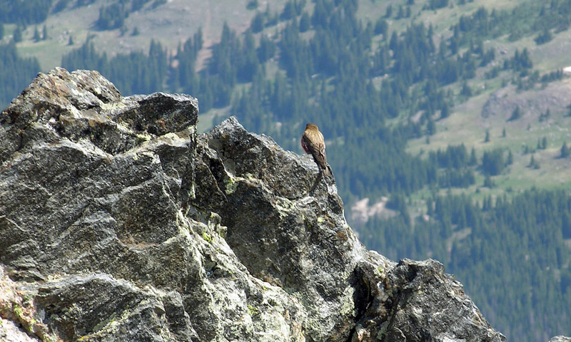 A bird sharing the summit view and solitude on Ypsilon Mountain