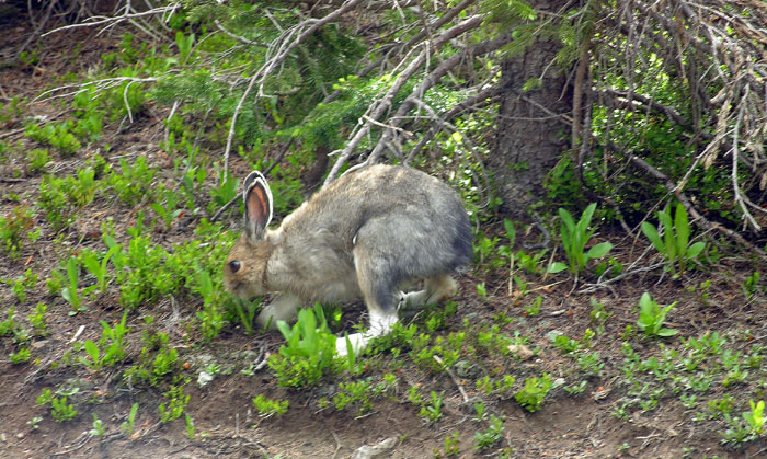 Snowshoe Hare along northestern shore of Lawn Lake, Rocky Mountain National Park