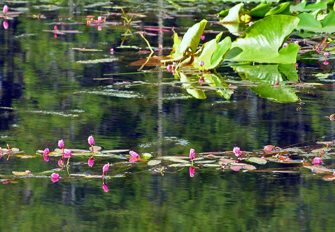 Pond with Lily Pads & blossoms in Colter Bay area - Grand Teton National Park