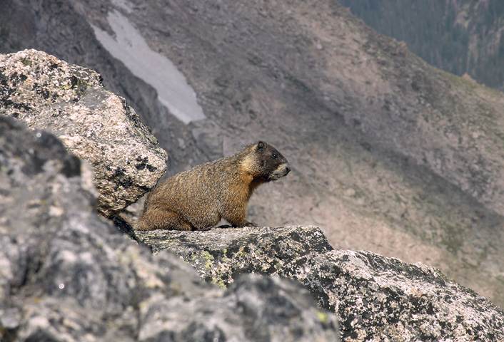 Marmot on the summit of Mount Alice