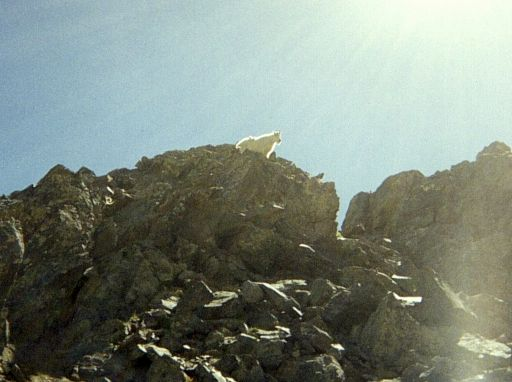 Mountain goat just off the trail to Grays and Torreys Peak