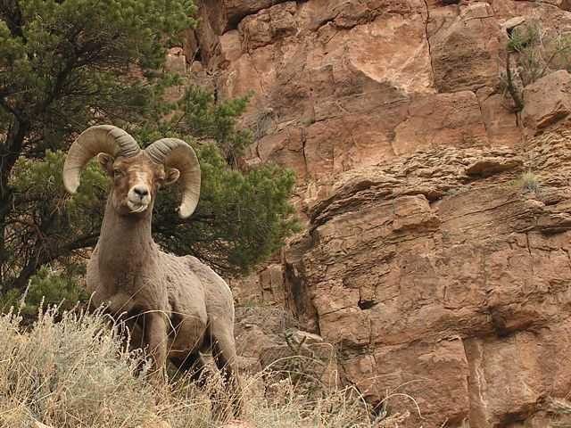 Big Horn Sheep along Shelf Road, between the Gym area and Cripple Creek