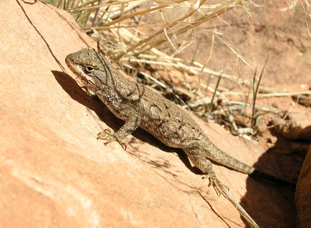 Local Lizzard on the rock