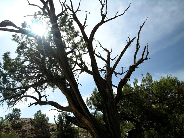 Desert tree with sunny sky background at the Colorado National Monument