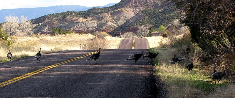 Wild Turkey crossing the road, between Cañon City and Shelf Road